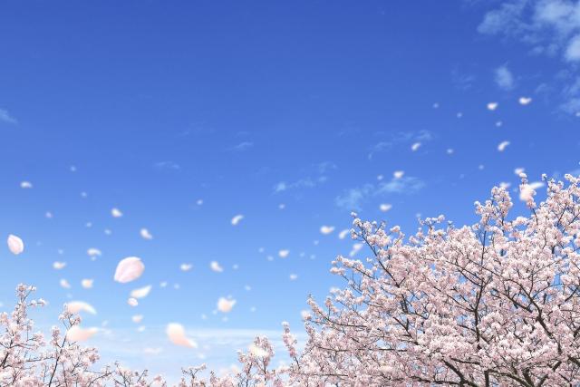 桜が散る画像